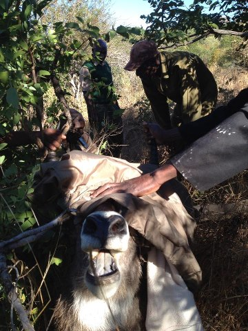 Snared Kudu