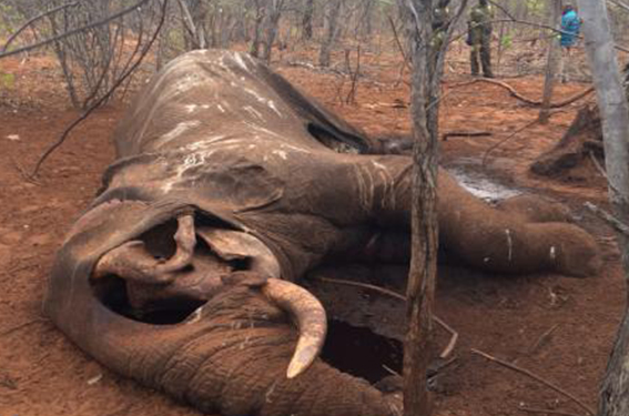 VFAPU - Remains of a poached Elephant